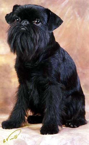 http://www.griffondog.ru/puppies/04/zulus_vudu.jpg